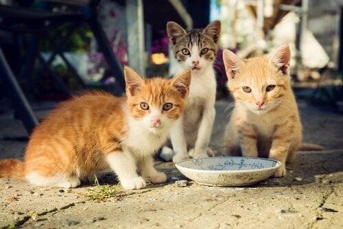 Katte spiser af madskål