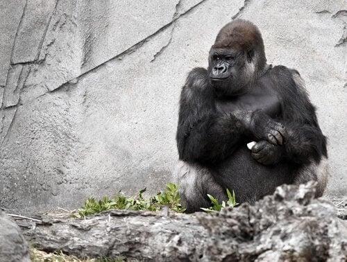Gorillaen Koko, den talende abe, er død