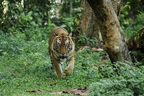 Den malaysiske tiger er i fare for at uddø