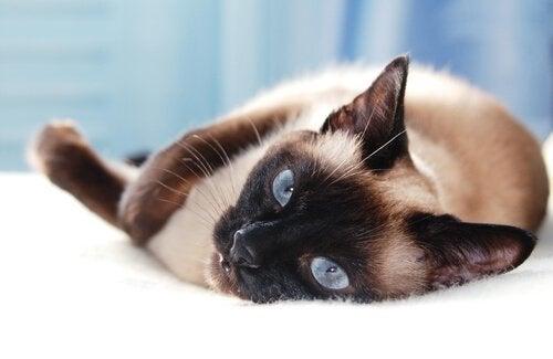 5 forskellige asiatiske katteracer