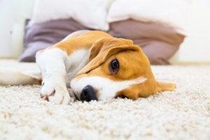 Hund på tæppe
