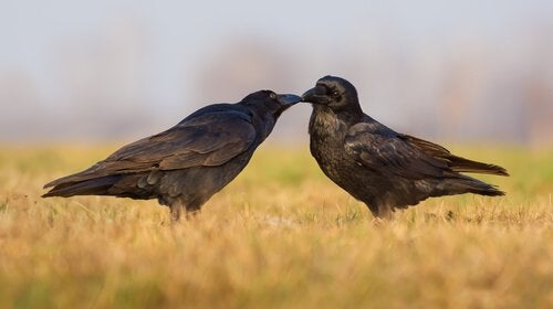 to krager, der kysser