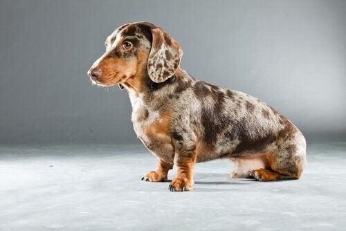 Balndingen mellem en gravhund og en dalmatiner er populær, fordi dens ophav er så forskellige