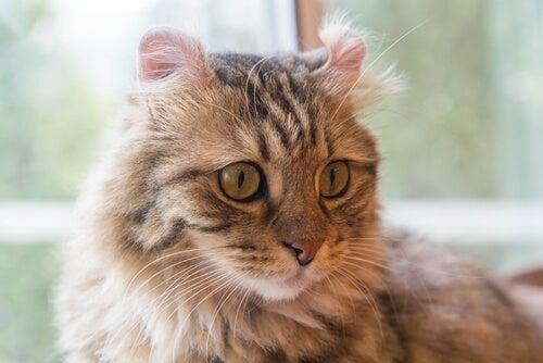 Kat med krøllede ører