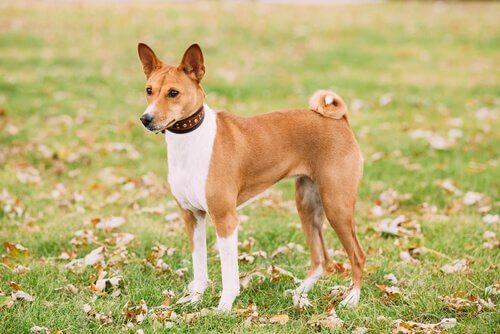 Basenji er en afrikansk hunderace