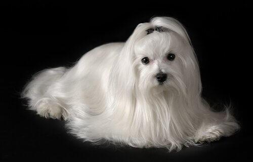 En malteser er blandt de allergivenlige hunde