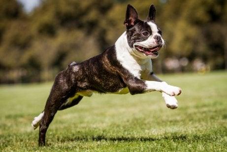 Boston-terriere har flad næse, store, spidse ører, en kompakt krop og kort hale