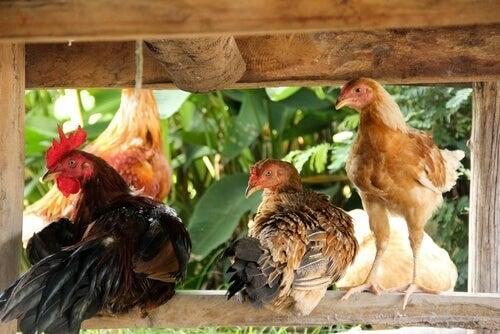 Høns og hane sidder i deres hønsehus