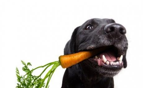 hund, der spiser en gulerod, symboliserer veganske hunde
