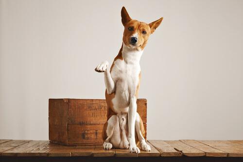 Er det muligt for en hund at bruge en kattebakke?