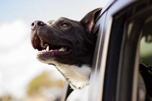 Hund kigger ud af vindue i bil