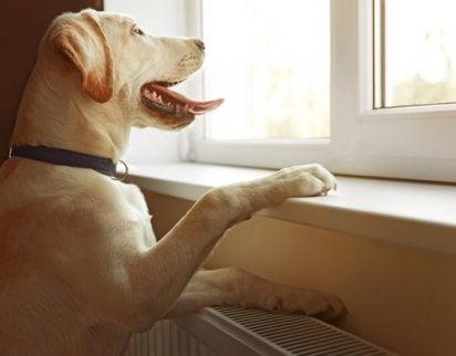 Hund kigger ud af vindue