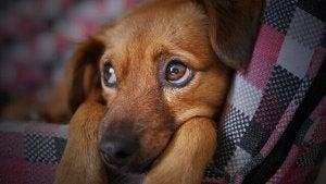 Trist hvalp lider af influenza hos hunde