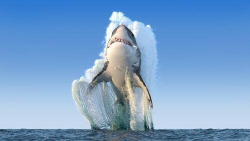 Hvornår angriber en haj?