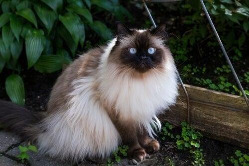 Kat med smukke, blå øjne