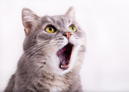 Stemmetab hos katte