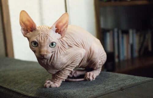 Kohana katten, den hårløse kat fra Hawaii