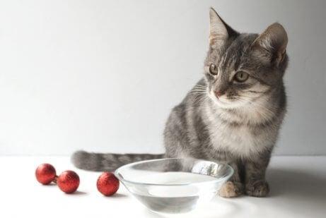 lille grå kat med vandskål
