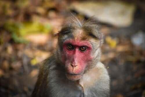 makakabe med rødt ansigt