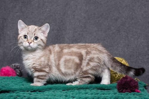 Munchkin katten er kendt for sine korte ben