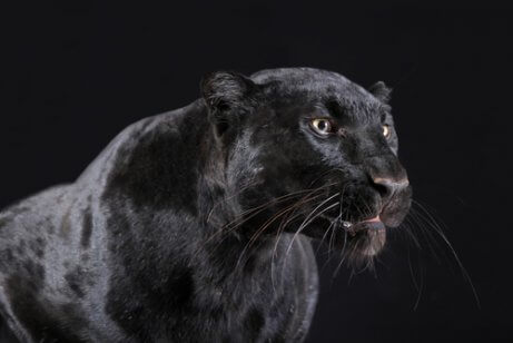 nærbillede af den sorte panter