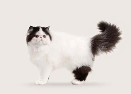 Katteracer med halvlang og lang pels