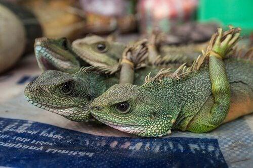 Leguaner bundet på fødderne