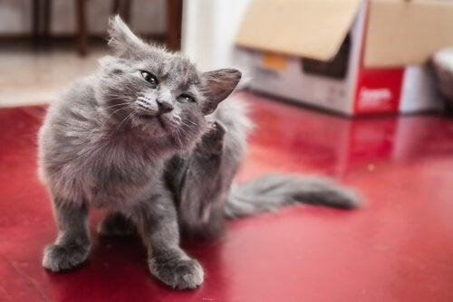 grå kat klør sig bag øret