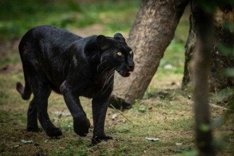 sort panter i naturen