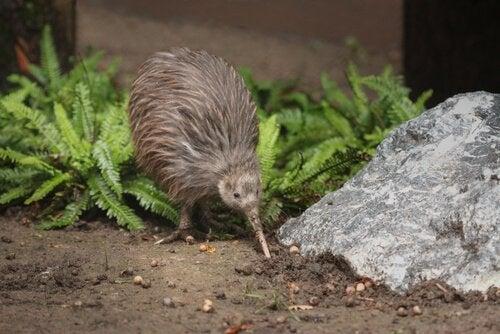 Kiwi på jagt efter insekter