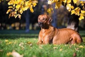 En rhodesian ridgeback er en hurtig hund