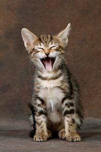 Sokokekatten: En afrikansk kat