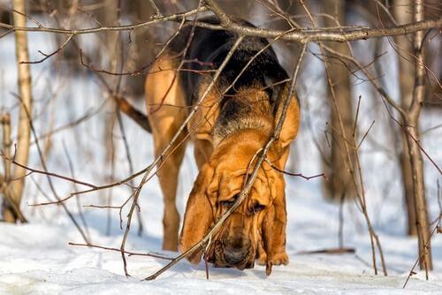 Blodhund i sne