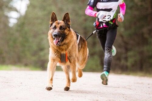 schæferhund i løb
