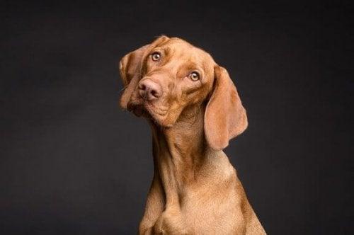 Sådan påvirker kost en hunds hud