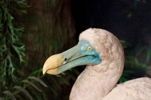 Dronte med blåt næb