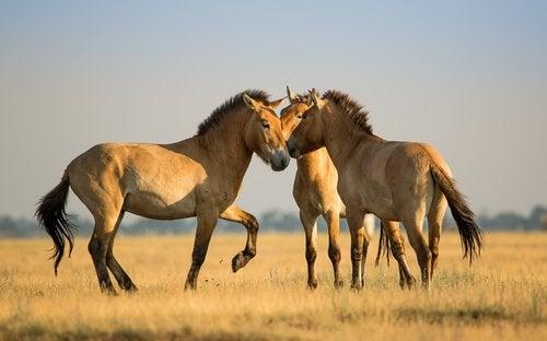 Heste leger på en eng
