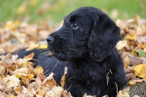 Hund i visne blade symboliserer gængse hundesygdomme om efteråret