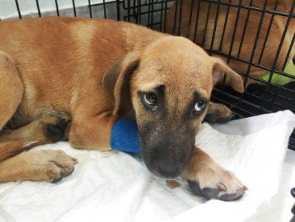 Hund med forbinding har kløet sig på grund af allergi hos hunde