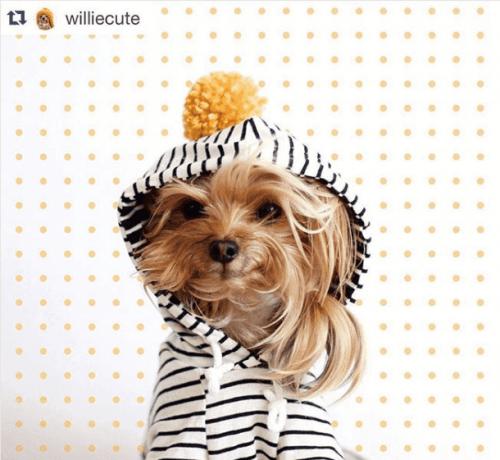 Willie Cute er et eksempel på hunde på instagram
