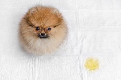 Sådan forhindrer du din hund i at tisse i hundekurven