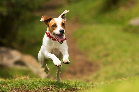 Hund hopper på græs