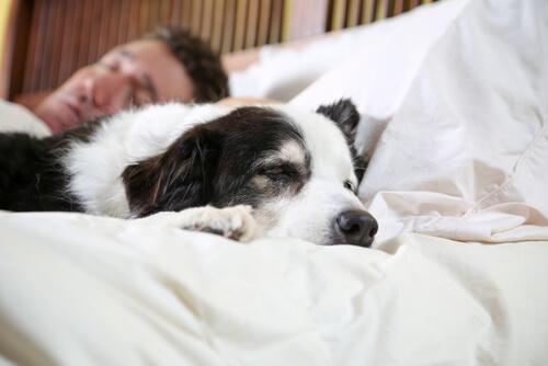 Hund sover i seng med ejer