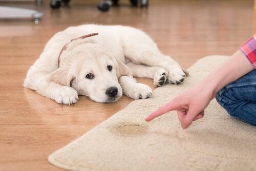 Ejer er ved at rette på en hund, der har tisset på et tæppe