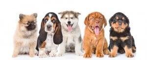 Hunde på række