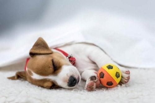 Hund, der sover med en bold