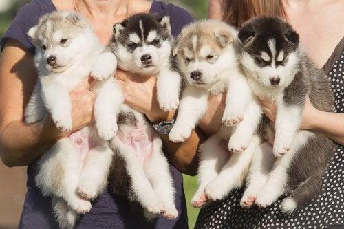 Hvalpe holdes i menneskers arme som symbol for at tage hundehvalpe med hjem