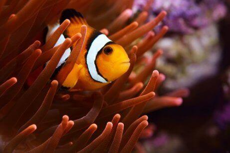 En orange klovnfisk i anemone