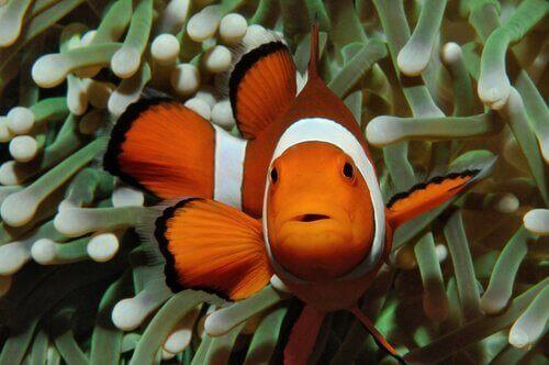 Hvorfor er klovnfisken orange?