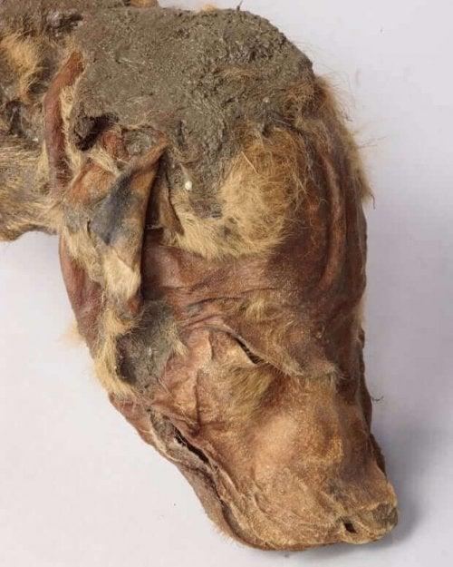 Hovedet på en mumificeret ulv